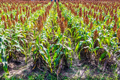 Sorghum. Millet or Sorghum  in the field Royalty Free Stock Photography