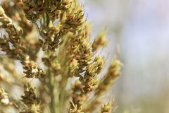 Sorghum panicle Sorghum dochna var. technicum. Macro photo of a sorghum panicle Sorghum dochna var. technicum stock image