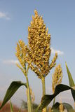 Sorghum. Panicle of sorghum under blue sky Stock Photography