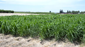 Sorghum plant. Sorghum plant juicy with green leaves in the field Stock Photos