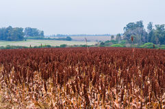 Sorghum plantation. Along the highway in Uruguay stock photo