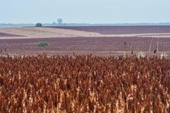 Sorghum plantation Stock Photo