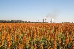 Sorghum plantation day field. Plant Stock Image