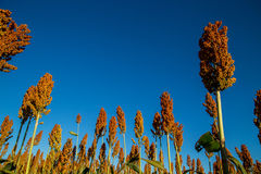 Sorghum plantation day field. Plant Stock Photography