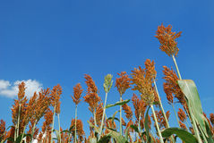 Sorghum. A sorghum plantation in the farm stock photography