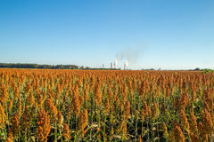 Sorghum plantation field day. Plant royalty free stock image