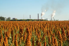 Sorghum plantation field day. Plant royalty free stock photography