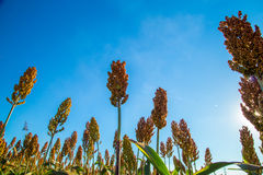 Sorghum plantation field day. Plant stock image