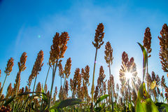 Sorghum plantation field day. Plant royalty free stock photo
