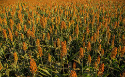 Sorghum plantation field day. Plant stock photos