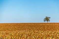 Sorghum plantation field plant seed. Crop royalty free stock image