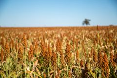 Sorghum plantation field plant seed. Crop stock photos