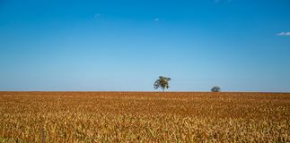 Sorghum plantation field plant seed. Crop stock image