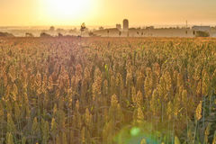 Sorghum Plantation industry. Sorghum Plantation farm industry agriculture Stock Image