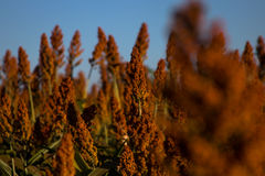 Sorghum Plantation industry. Sorghum Plantation farm industry agriculture royalty free stock image