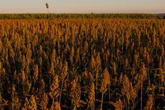 Sorghum Plantation industry. Sorghum Plantation farm industry agriculture stock photo