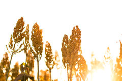 Sorghum Plantation industry. Sorghum Plantation farm industry agriculture stock images