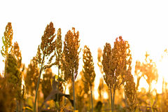 Sorghum Plantation industry. Sorghum Plantation farm industry agriculture royalty free stock images