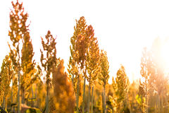 Sorghum Plantation industry. Sorghum Plantation farm industry agriculture stock photos