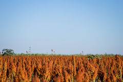 Sorghum Plantation industry. Sorghum Plantation farm industry agriculture royalty free stock photos