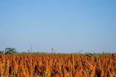 Sorghum Plantation industry. Sorghum Plantation farm industry agriculture royalty free stock photography