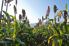 Sorghum plants in the field.  Royalty Free Stock Images