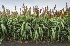 Sorghum plants in field. Agricultural concept Royalty Free Stock Photos