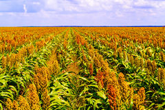 Sorghum plants fields in Botswana. Sorghum, common name for maize-like grasses native to Africa and Asia, where they have been cultivated since ancient times Royalty Free Stock Image