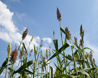 Sorghum plants grown for ethanol and fuel Stock Images