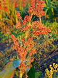 A Sorghum Single Plant Royalty Free Stock Photos