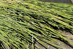 Sorghum stalks ready for pressing. Green sorghum stalks lying on a wooden trailed bed ready to be sent through a press to extract the juices Royalty Free Stock Photo