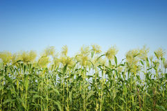 Sorghum  in summer. Green sorghum  farm in summer Royalty Free Stock Image