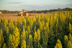 Sorghum sunset field plantation. Beautiful Royalty Free Stock Photography