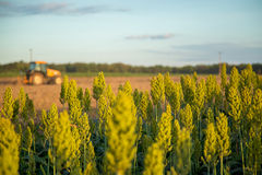 Sorghum sunset field plantation. Beautiful Stock Photography