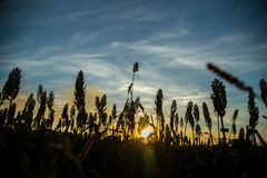 Sorghum sunset plantation. Field beautiful Royalty Free Stock Photos