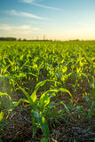 Sorghum sunset plantation. Field plant Royalty Free Stock Photos