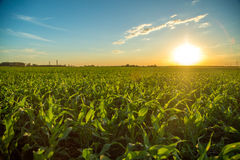 Sorghum sunset plantation. Field plant Royalty Free Stock Image