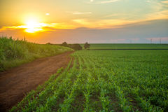 Sorghum sunset plantation. Field plant Royalty Free Stock Photo