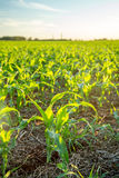 Sorghum sunset plantation. Field plant Stock Images