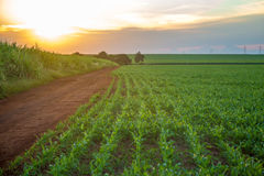 Sorghum sunset plantation. Field plant Royalty Free Stock Photography