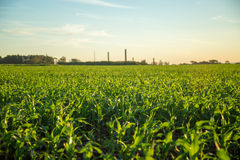Sorghum sunset plantation. Field plant Stock Photography
