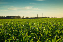 Sorghum sunset plantation. Field plant Stock Image