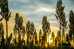 Sorghum sunset plantation. Field plant Stock Photos