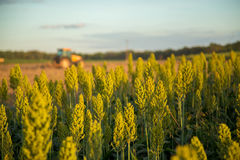 Sorghum sunset plantation. Field plant Stock Photo