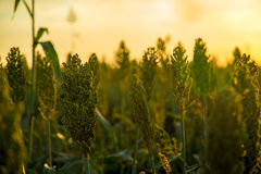 Sorghum sunset plantation. Field beautiful Stock Images