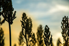 Sorghum sunset plantation. Field beautiful Royalty Free Stock Images