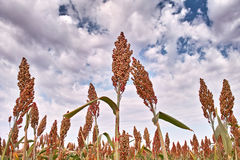 Sorghum under blue sky. In autumn Stock Images