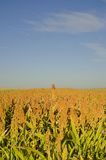 Sorghum vulgare field. A Sorghum field in the country, Romania Stock Image