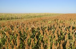Sorghum vulgare field Royalty Free Stock Photography