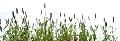 Sorghum in the white sky.  Royalty Free Stock Photos